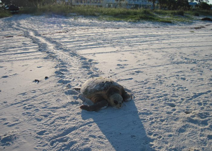 Logger Head Turtle Returning to Gulf after Laying Her Eggs.Old